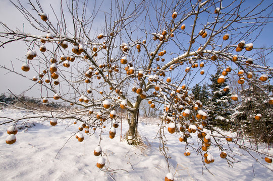 Snow covered apples  on the tree in winter