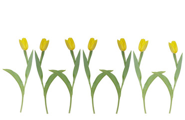 Seven isolated yellow tulips