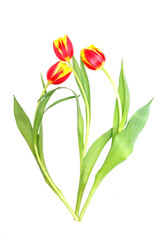 Three isolated tulips