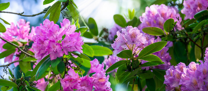rhododendron flowering time