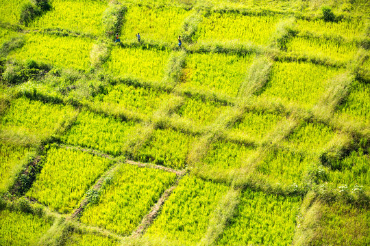 Looking down on rice crops, Shire Valley, Malawi