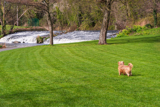 Little fluffy brown dog enjoying a beautiful sunny day in the park, running through the grass towards the foamy river waters. Spring scene on Dodder Walk in Dublin, Ireland.