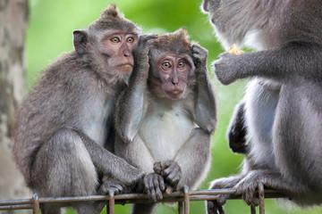 Macaque monkey group, Sacred Monkey Forest, Ubud, Bali, Indonesia