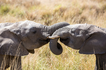 African elephants playing, Masai Mara, Kenya