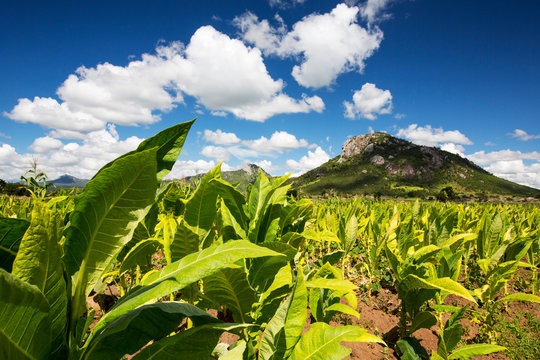 Tobacco being grown as cash crop, Malawi
