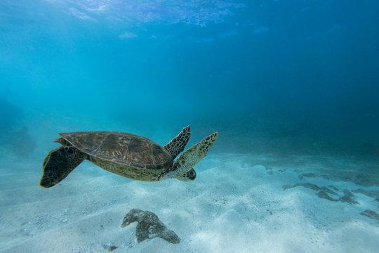 Underwater picture of Hawaiian sea turtle swimming, Sharks Cove, Oahu, Hawaii, USA