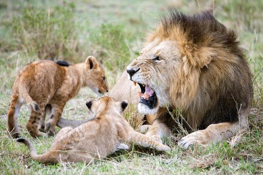 Male lion roaring at cubs, Masai Mara National Reserve, Kenya