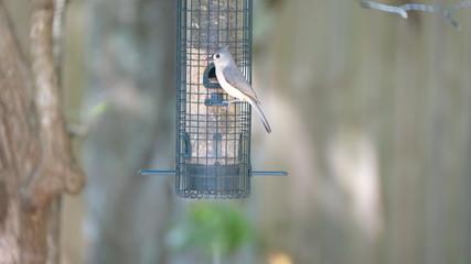 Titmouse at feeder