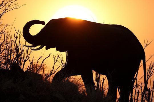African elephant Loxodonta africana Dust bath in silhouette against sunset Chobe N P Botswana Sub Saharan Africa