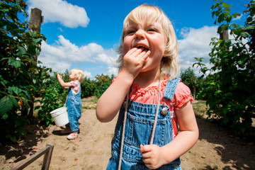 CARNATION, WASHINGTON, USA. A blonde toddler in denim overalls crams raspberries into her mouth as her sister picks raspberries at a farm on a sunny day.