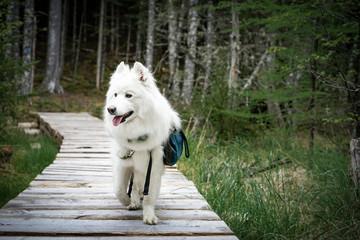 Samoyed walking on boardwalk