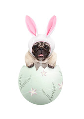 funny cute  pug puppy dog wearing bunny ears, sitting in pastel green easter egg, isolated on white background