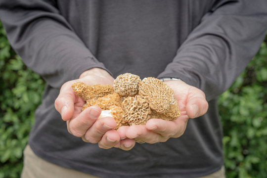 Close up of man holding morel mushrooms