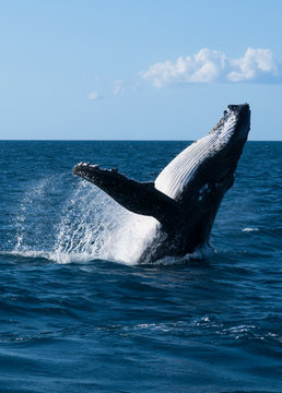 humpback jumping out of the water, east coast australia