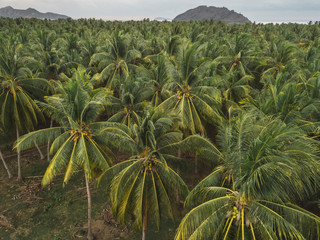 Palm grove, Sumbawa, Indonesia