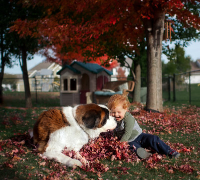 Toddler boy playing in autumn leaves with St. Bernard dog