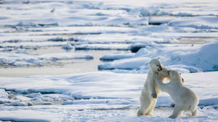Two polar bears fighting on pack ice, Spitsbergen