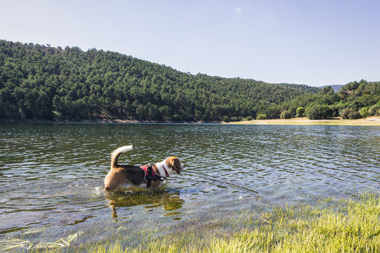 Pretty Beagle dog enjoying nature