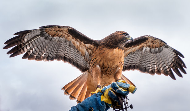 A red tail hawk is sitting on its handlers blue glove. Its wings and tail feathers are spread out. Its head is turned to the left. The background is a gray sky with some clouds.