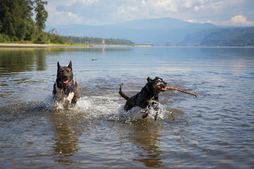 Dogs playing in Columbia River, Portland, Oregon, USA
