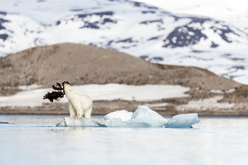 Polar bear (Ursus maritimus) playing with seaweed on pack ice, Krossfjorden, Svalbard and Jan Mayen, Norway