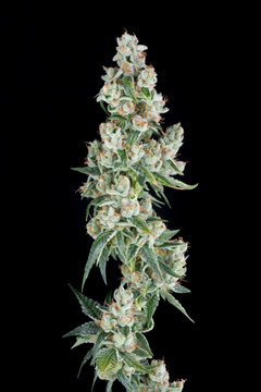 Marijuana plant on black background