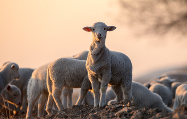 Fond de hotte en verre imprimé Sheep cute little lamb on fresh spring green meadow during sunrise
