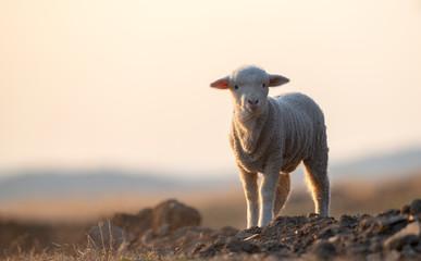 Fond de hotte en verre imprimé Sheep cute little lamb on fresh spring green meadow during sunrise