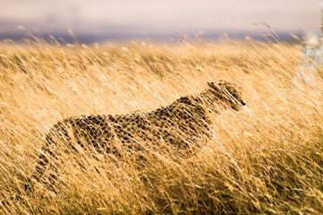 A Male Cheetah, Acinonyx Jubatus, Hides In The Grass At Ngorngoro National Park, Tanzania