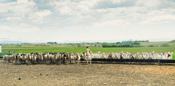 Herd of sheep, goats and llama, Ralston, Wyoming, USA