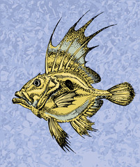 Zeus faber. saint pierre fish on a blue backgroung