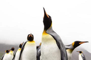 King Penguins, Jason Harbor, South Georgia Island