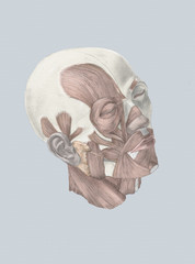 Human head with muscles