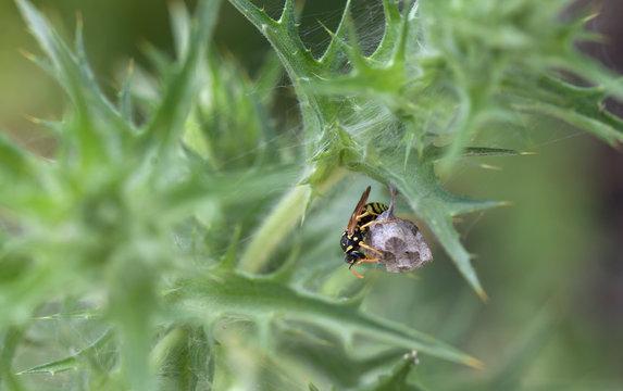 A wasp guards its nest in Prado del Rey, Sierra de Cadiz, Andalusia, Spain