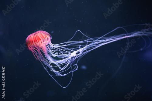 Fototapete glowing jellyfish chrysaora pacifica underwater