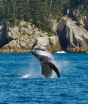 Breaching Humpback whale in Kenai Fjords