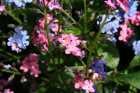 Vergissmeinnicht rosa/blau