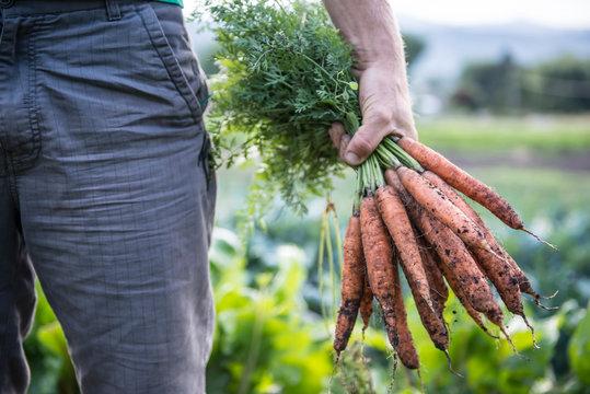Man holding freshly harvested organic carrots