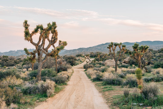 Joshua trees and desert landscape along a dirt road at Pioneertown Mountains Preserve in Rimrock, California