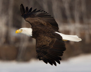 Side view of bald eagle (Haliaeetus leucocephalus) flying against blurry background