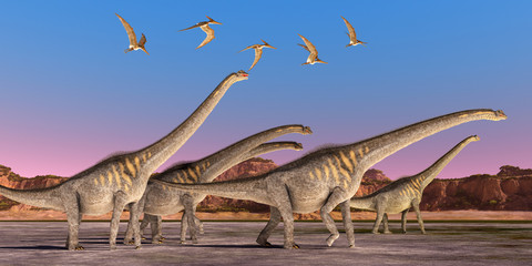 Sauroposeidon Dinosaur Herd - A flock of Pteranodon reptiles fly over a herd of Sauroposeidon dinosaurs walking together during the Cretaceous Period of North America.