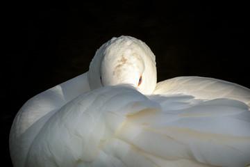 Portrait of  Embden goose, White goose with orange beak in close up