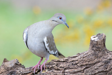 White-winged Dove (Zenaida asiatica) perched on a rock in the Texas Hill Country mimosa background