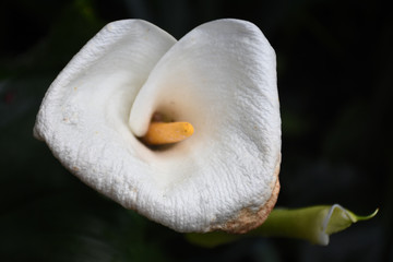 Calla Lily also know as the Alcatraz Flower after a spring rain in San Diego