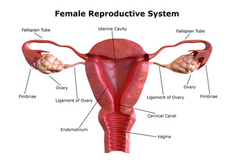 female reproductive system. Internal view of the uterus with cross section