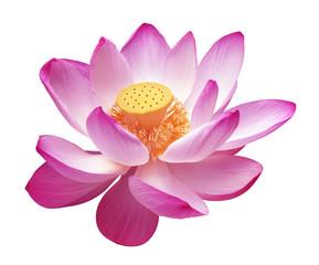Foto auf Gartenposter Lotosblume lotus rose