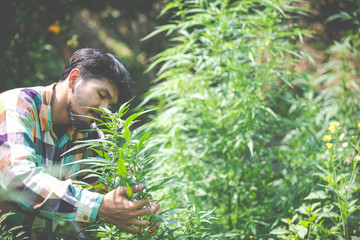 Farmer checking cannabis plants in the fields before harvesting.
