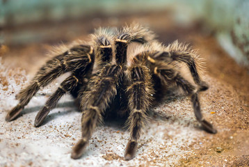 Fototapeta Brazilian salmon pink bird-eating tarantula. Spider reaches with open extremities over 30 cm of tarantula brown with pink dots. In the world, these spiders live in Eastern Brazil. As food he prefers m obraz