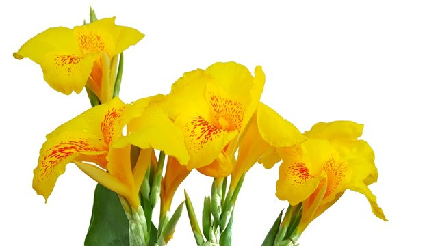 yellow canna lilly flowers isolated on white background