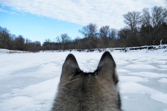 The head of a wolf against the frozen river, snow-covered forest and patterned winter sky. Back view. winter landscape